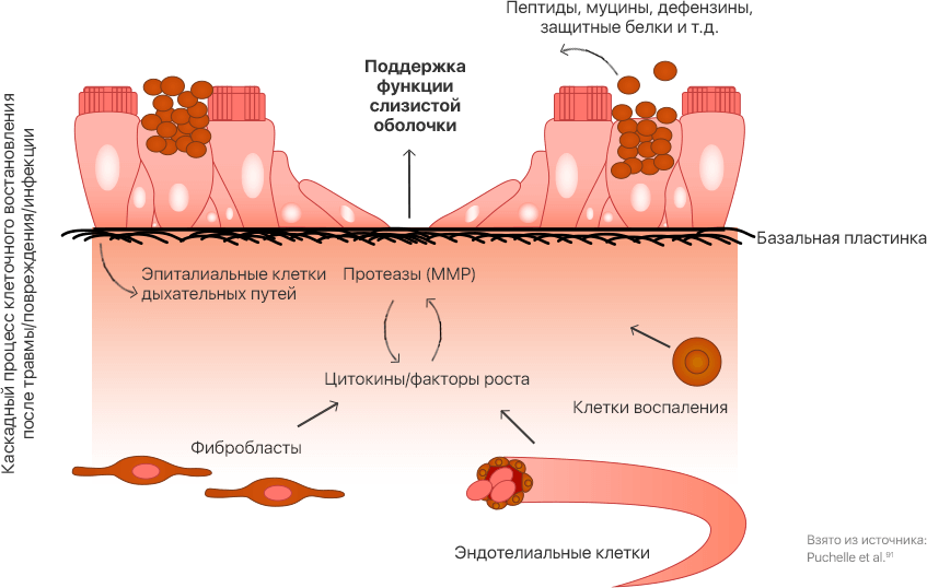 Клеточные и молекулярные факторы, вовлеченные в востановление и регенерацию эпителия дыхательных путей