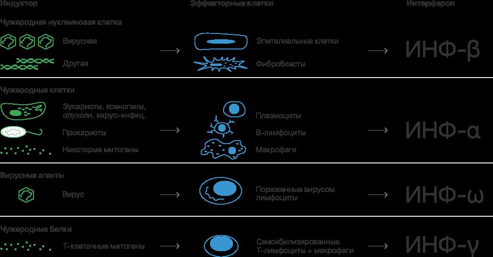 Роль различных интерферонов в иммунном ответе