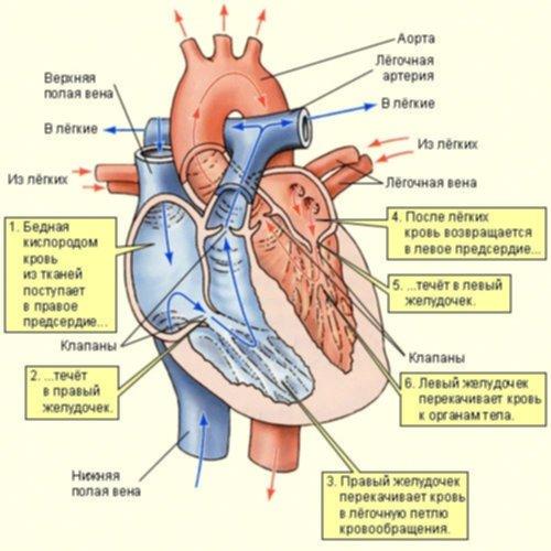 Схема кровообращения в сердце.