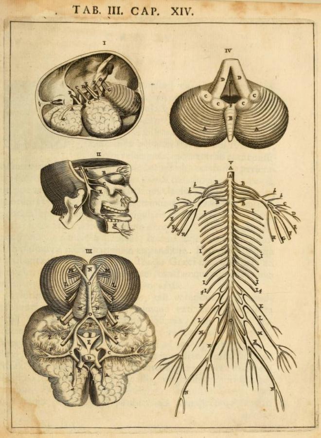 Нервы и сосуды XVII века